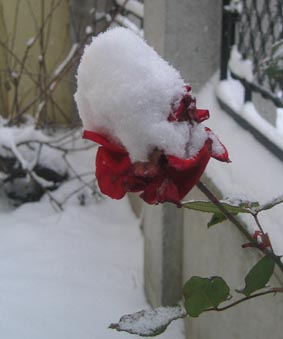 RoseBlog.jpg